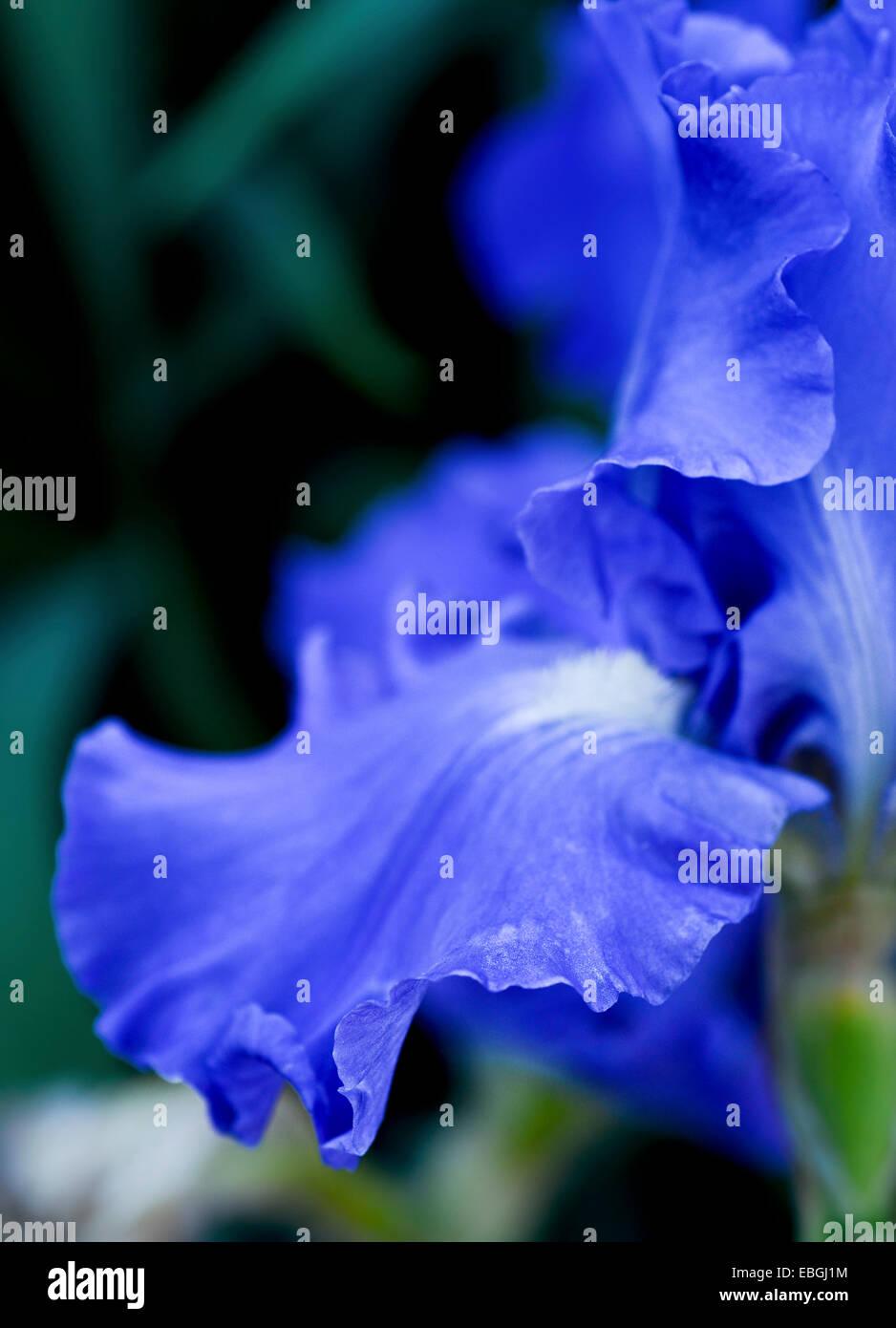 Nahaufnahme einer blauen Iris Blume Stockfoto