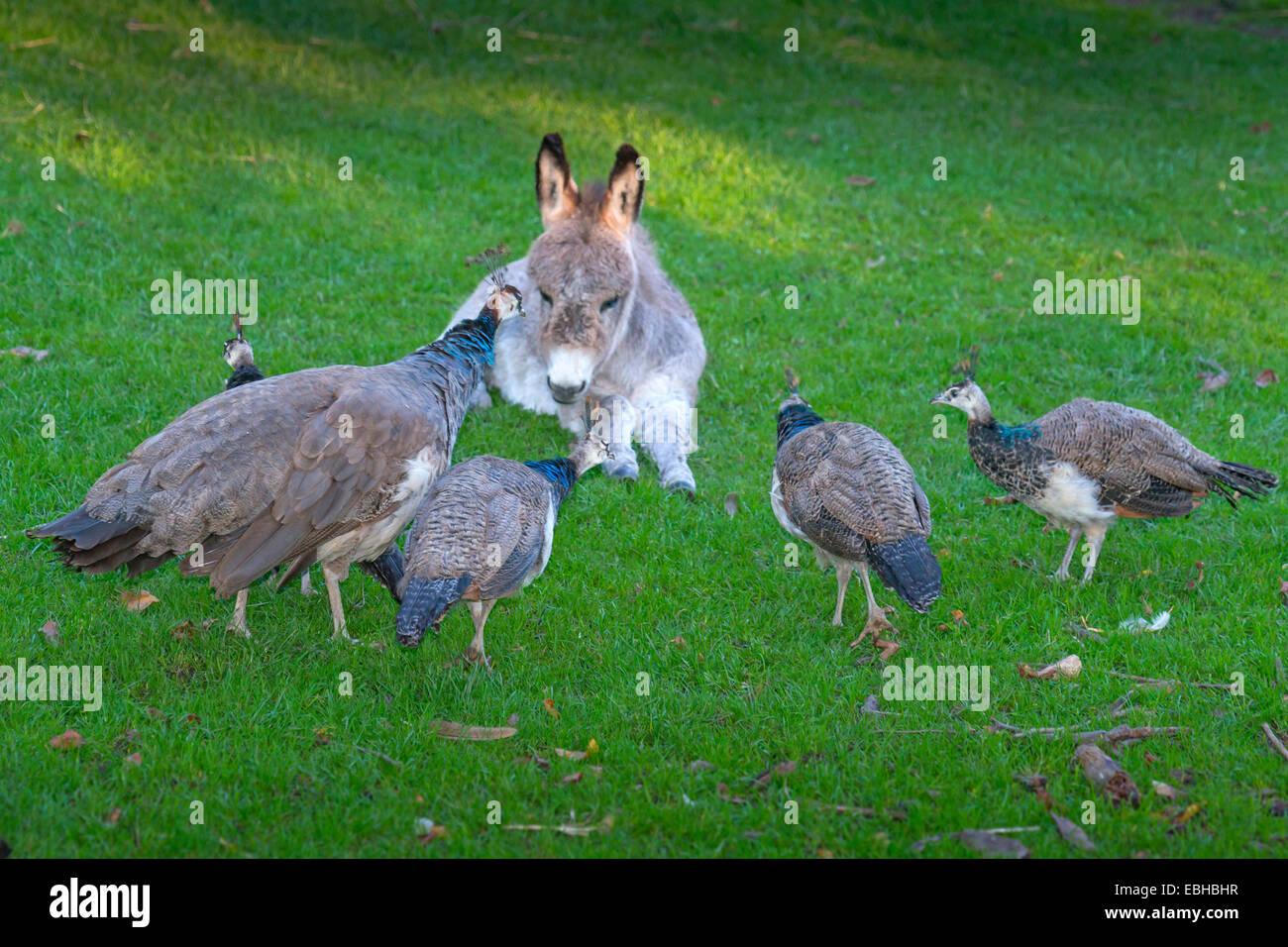 Young Peafowl Stockfotos Young Peafowl Bilder Alamy
