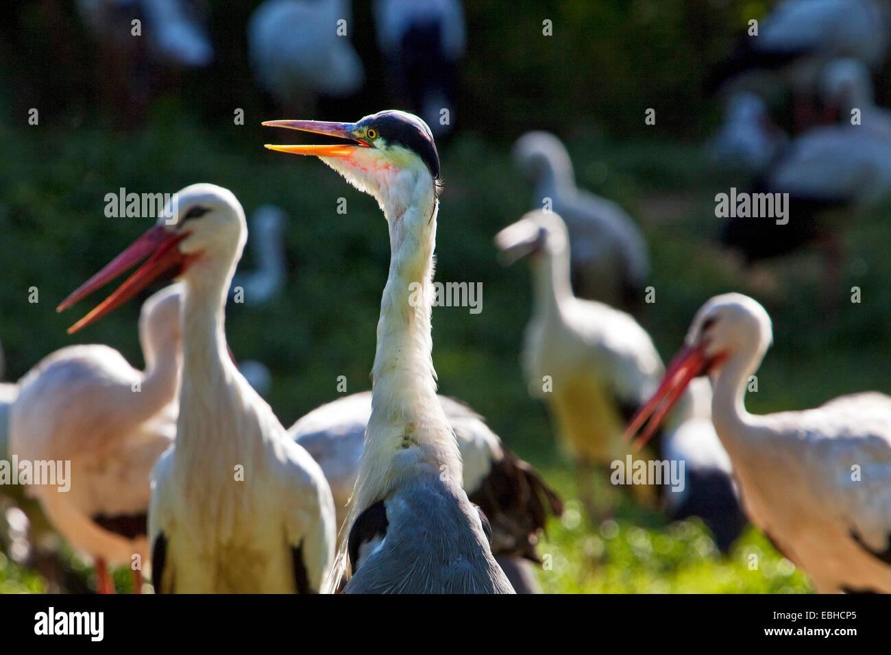 Weißstorch (Ciconia Ciconia), mehrere Storka und einem Kran, Deutschland, Nordrhein-Westfalen Stockbild
