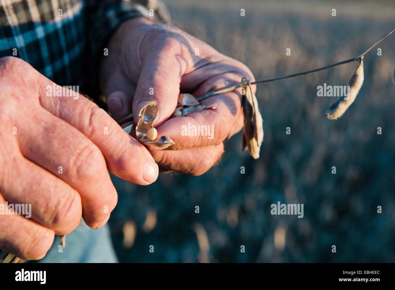 Ältere männliche Bauer Hände halten auf Soja Pod, Plattsburg, Missouri, USA Stockbild