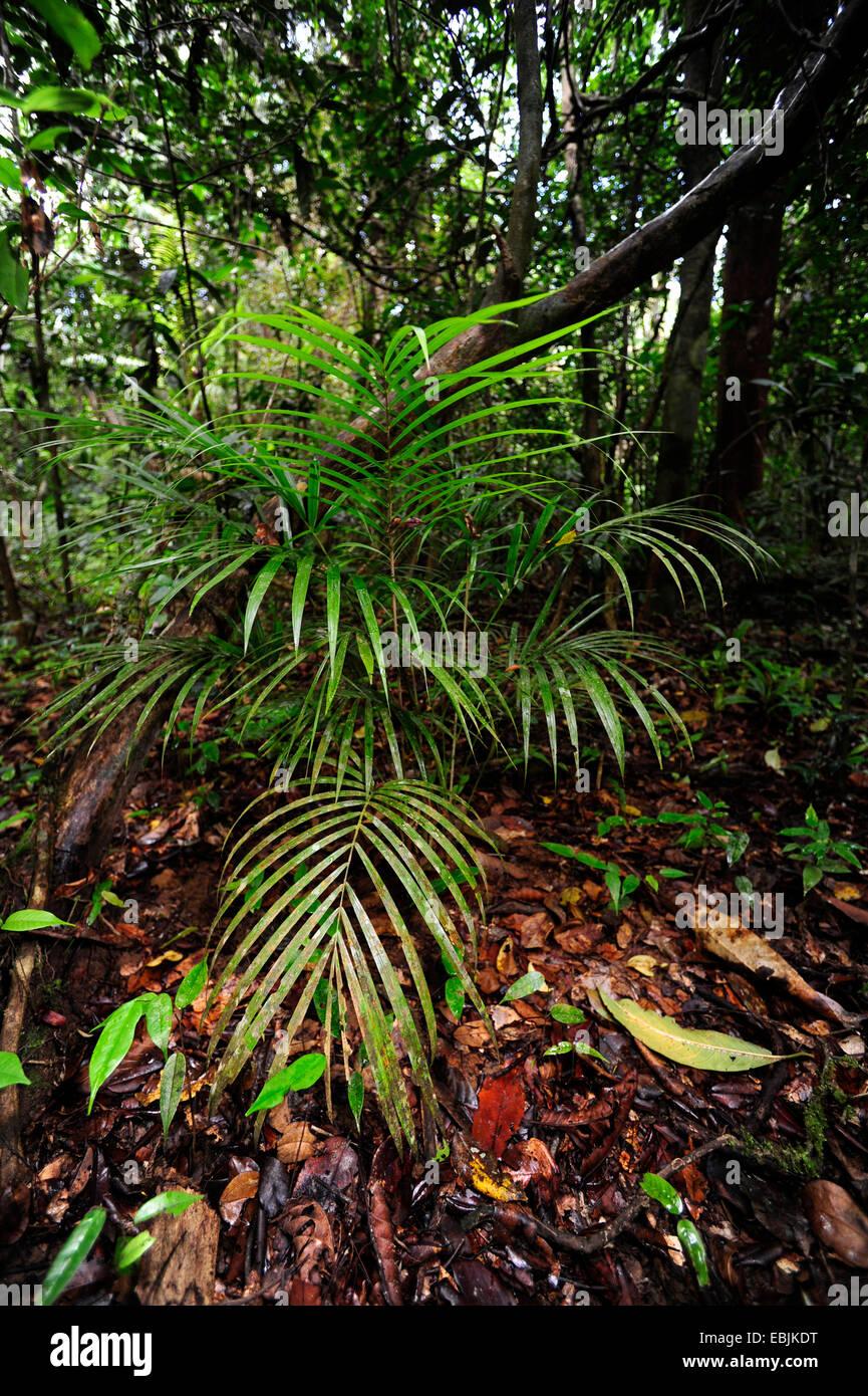 Palmen Sie Am Boden Im Tropischen Regenwald Sri Lanka Sinharaja