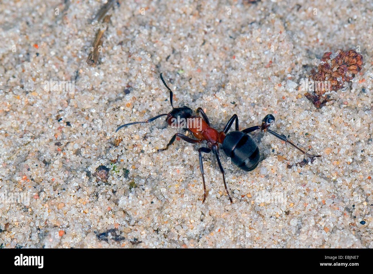 blut rote ameise slave making ameisen formica sanguineaund raptiformica sanguineaund fu. Black Bedroom Furniture Sets. Home Design Ideas
