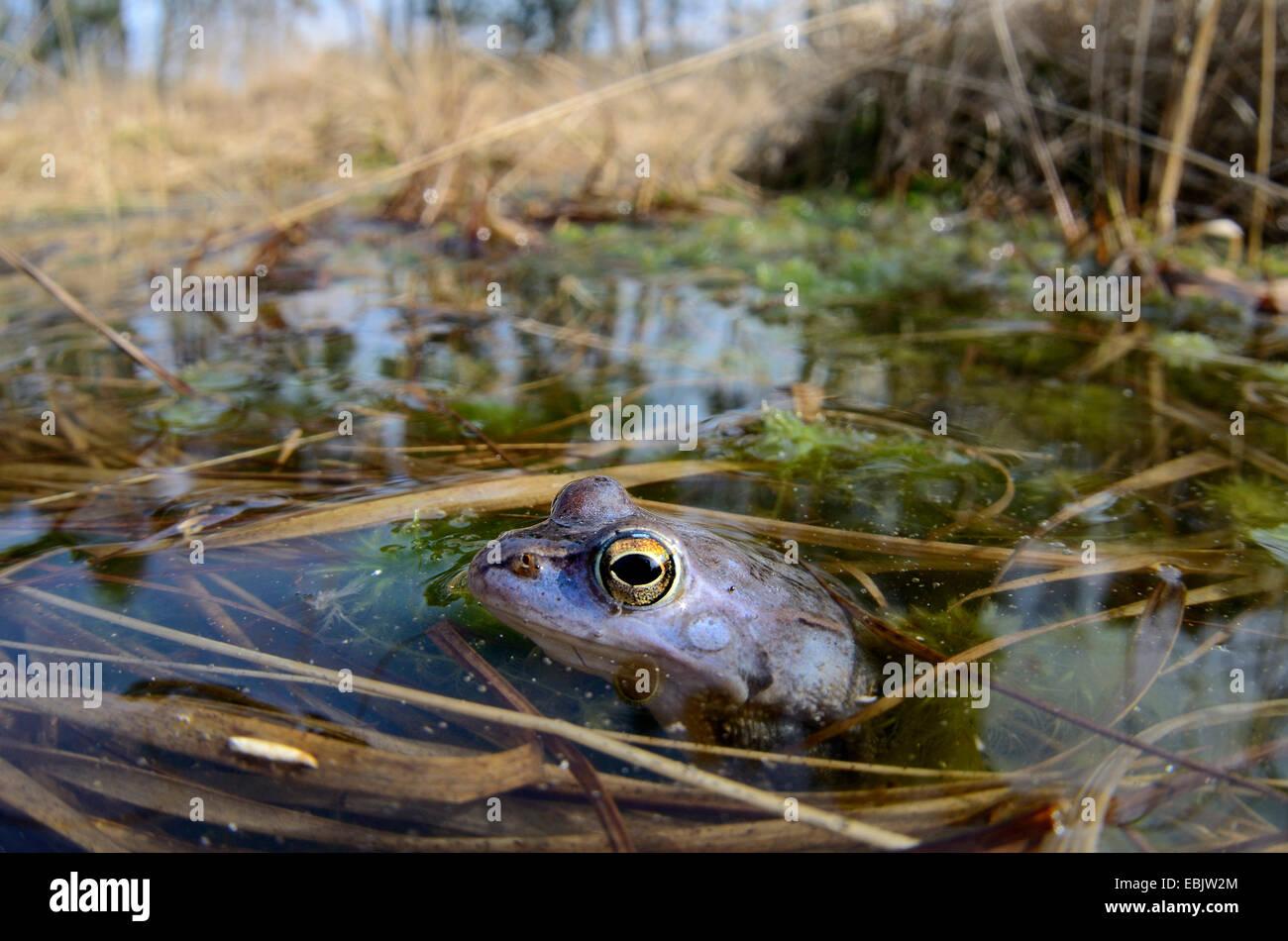 Moor-Frosch (Rana Arvalis), männliche in der Paarung Färbung aus ...