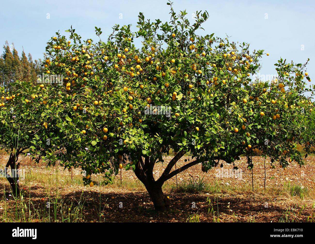 zitronenbaum citrus limon baum mit fr chten stockfoto. Black Bedroom Furniture Sets. Home Design Ideas