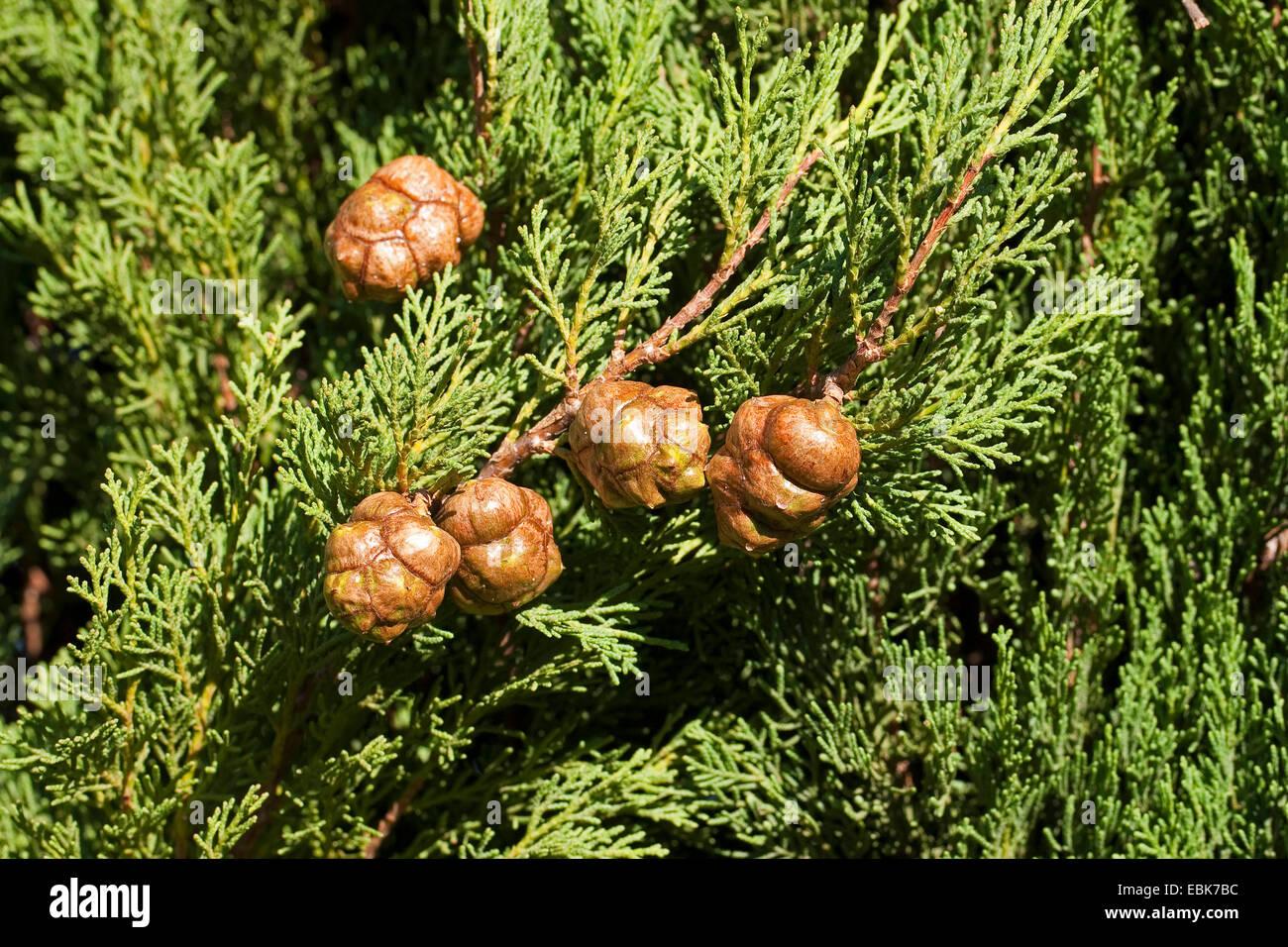 Italienische Zypresse (Cupressus Sempervirens), Zweig mit Zapfen Stockbild
