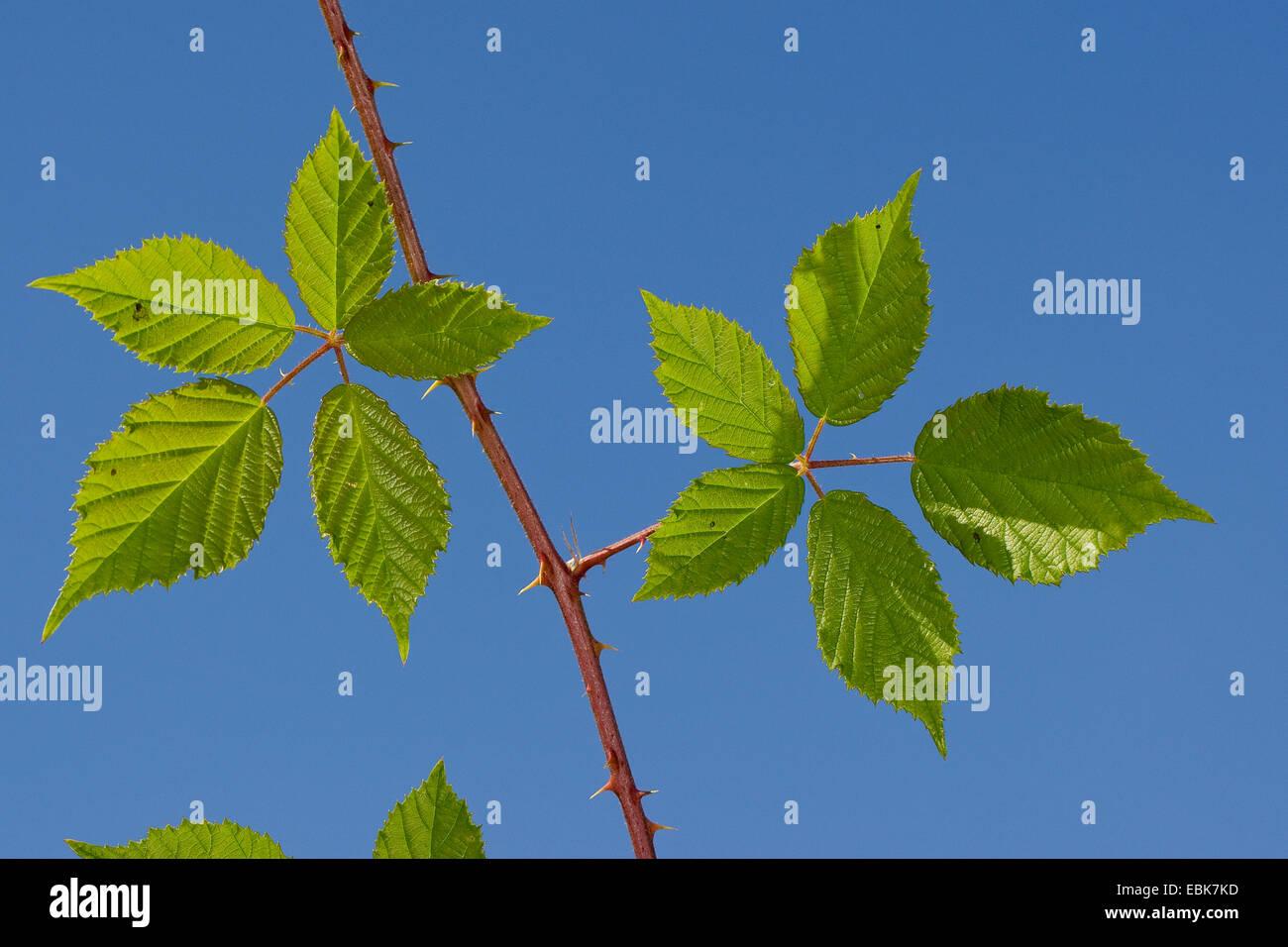 strauchige Brombeere, Heilpflanze, Heilpflanzen, Heilpflanze, Heilpflanzen, Kräuterkunde, Nutzpflanze, Nutzpflanzen, Stockbild