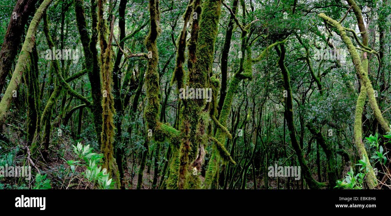 Lorbeerwald in den Bergen der Garajonay Nationalpark, Gomera, Gomera, Kanarische Inseln Stockbild