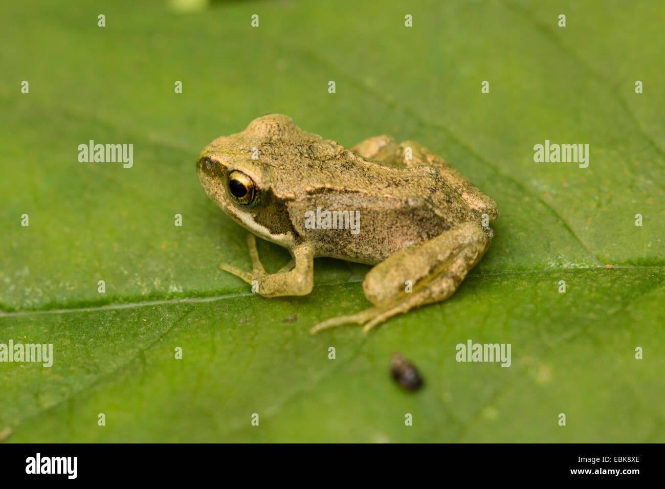 Grasfrosch, Grasfrosch (Rana Temporaria), Exemplar mit kürzlich fertiggestellte Metamorphose sitzt auf einem Stockbild