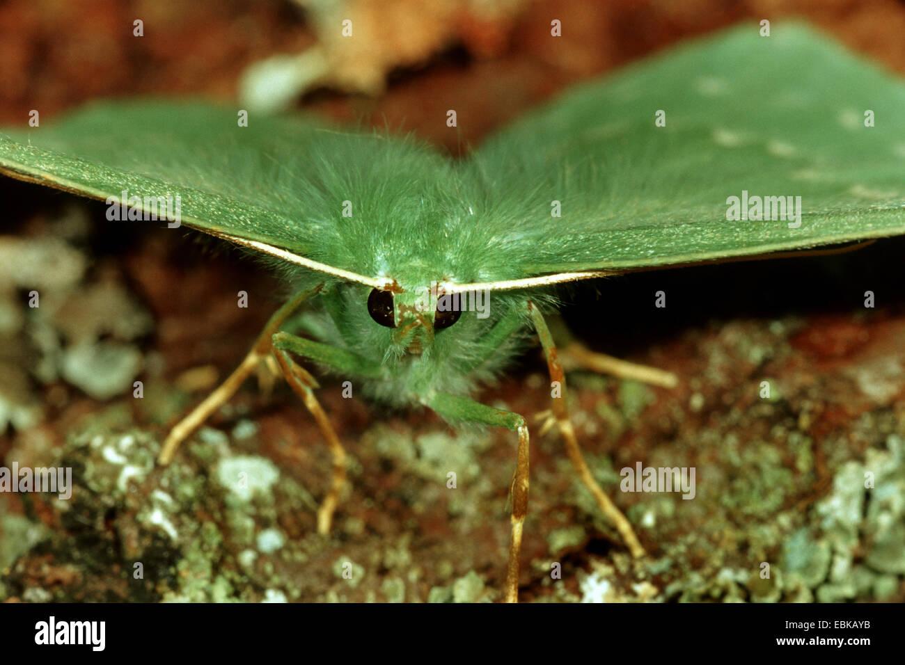großer Smaragd (Geometra Papilionaria), Frontansicht, Deutschland Stockbild