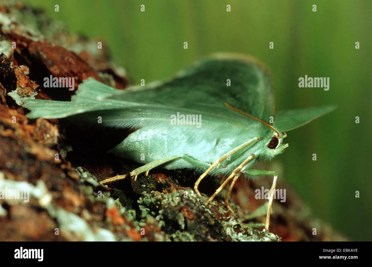 großer Smaragd (Geometra Papilionaria), auf Rinde mit Flechten, Deutschland Stockbild