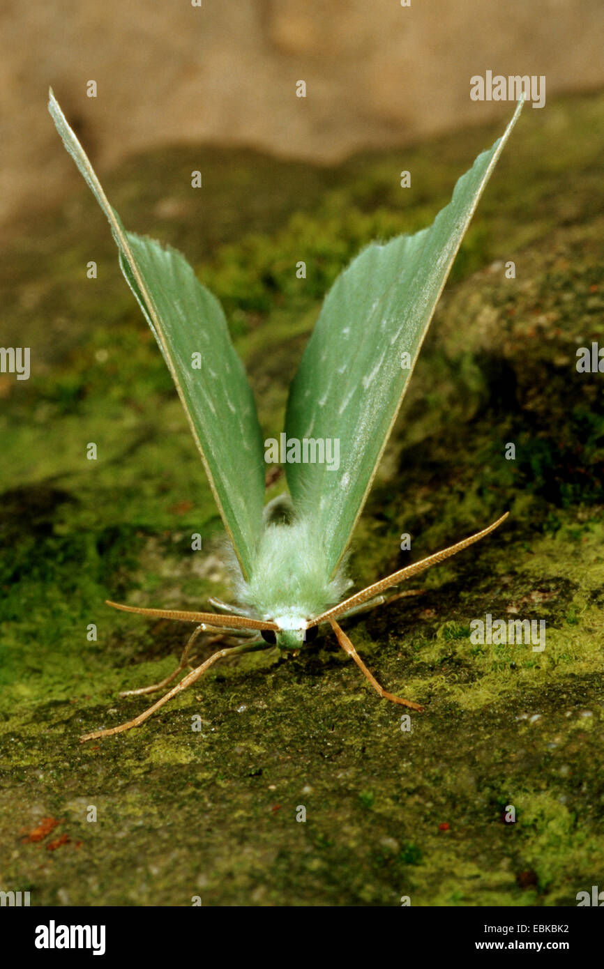 großer Smaragd (Geometra Papilionaria), auf moosigen Stein, Deutschland Stockbild