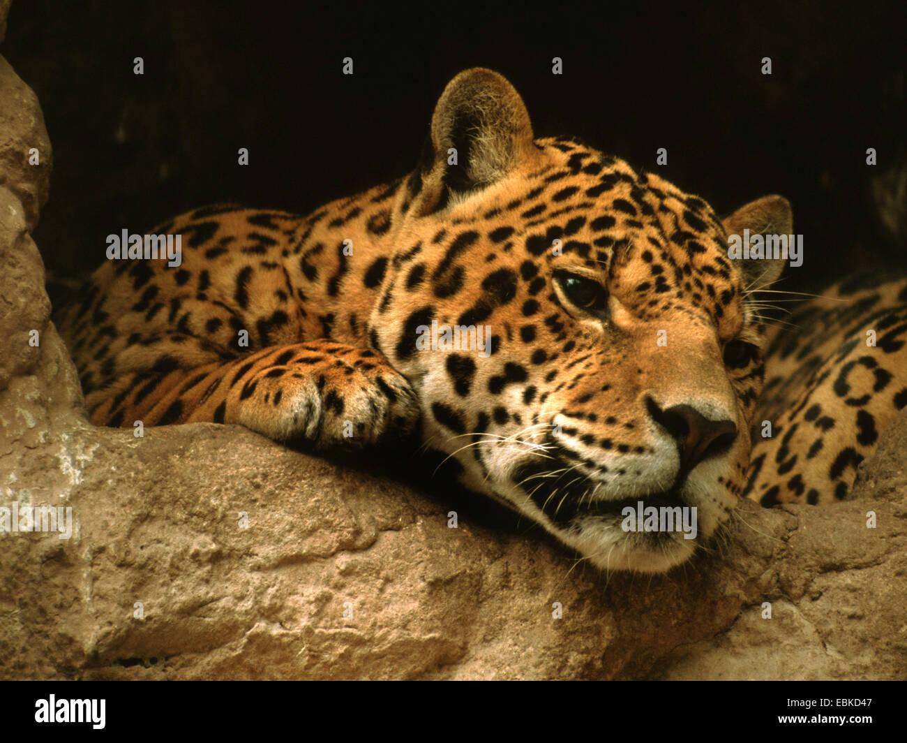 Jaguar (Panthera Onca), portrait Stockbild