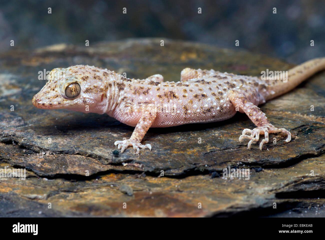 Rau-enthäuteten Gecko, Keeled Gecko, Bent-toed Gecko (Cyrtopodion Scaber), auf einem Stein Stockbild