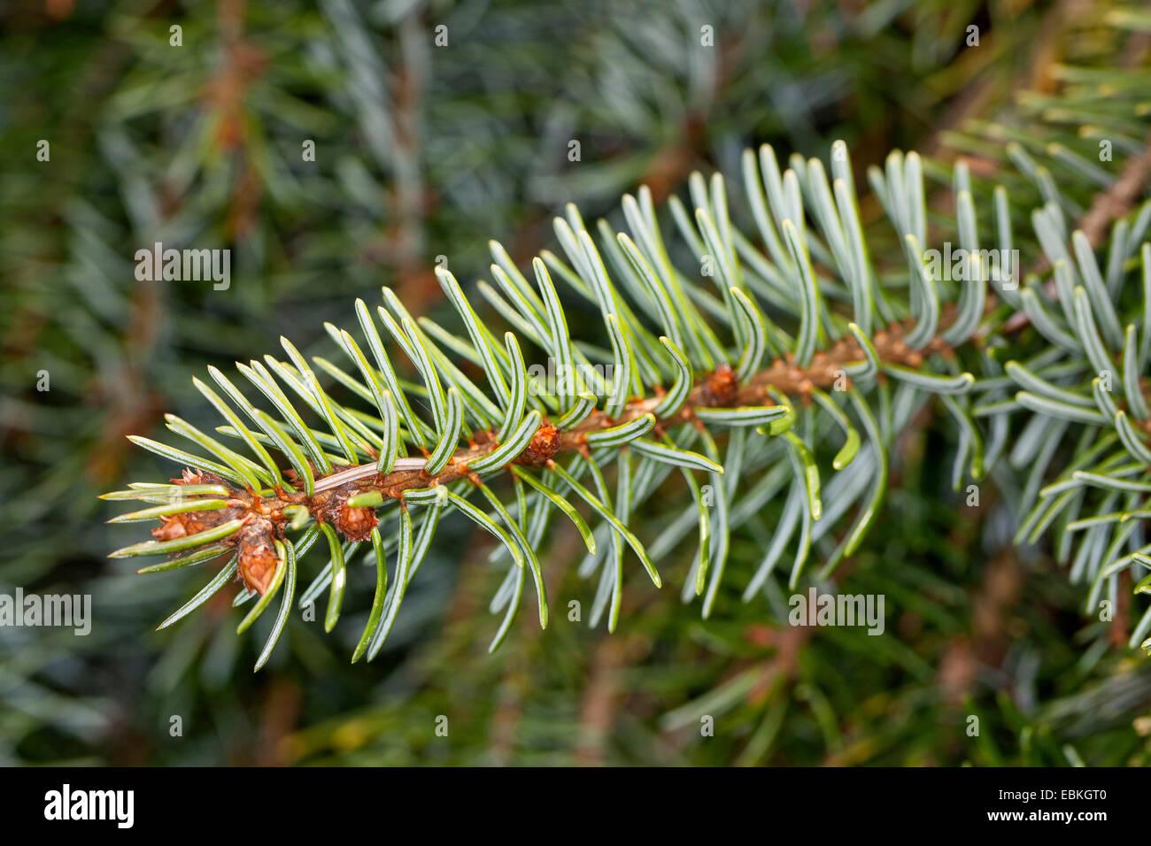 Serbische Fichte (Picea Omorika), verzweigen Stockbild