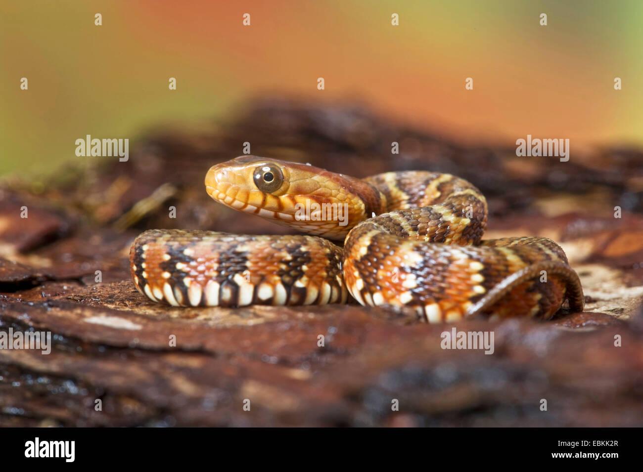 gebänderten Wasserschlange (Nerodia Fasciata), zusammengerollt Stockbild