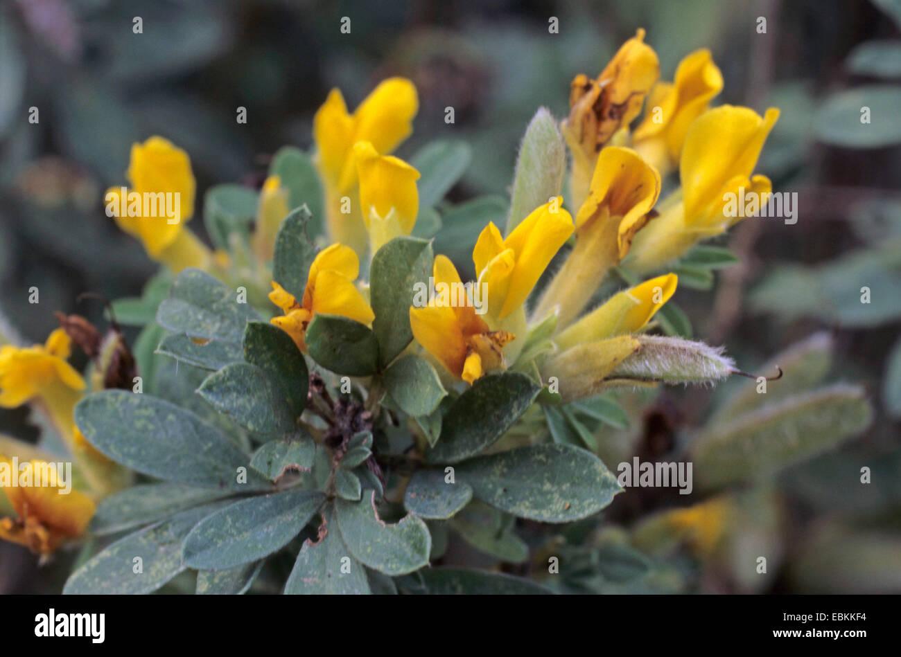 Tri-blühenden Ginster (Chamaecytisus Triflorus, Cytisus Triflorus), blühen Stockbild