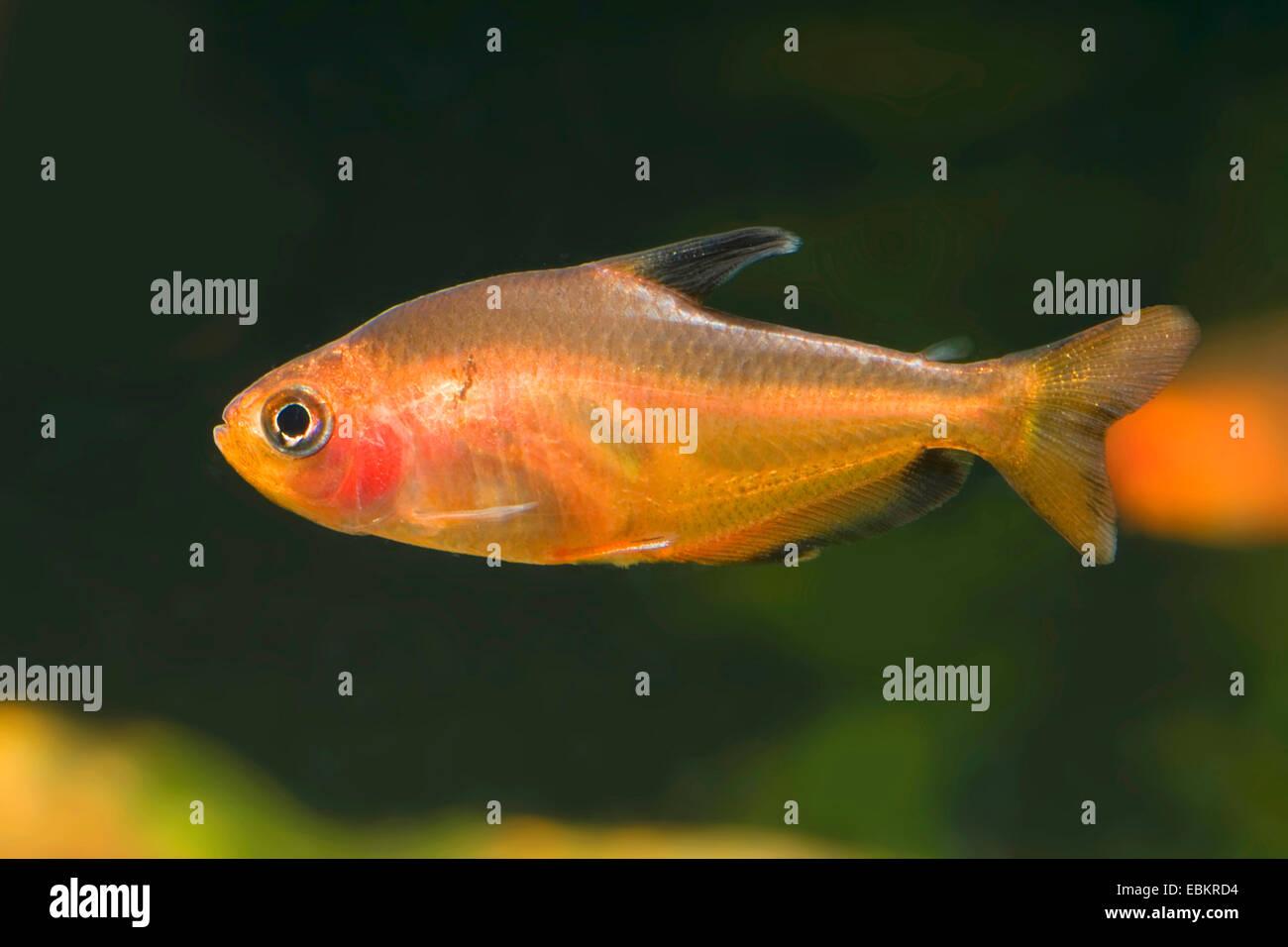 Kleine rote Tetra (Hyphessobrycon Eques), Schwimmen Stockbild