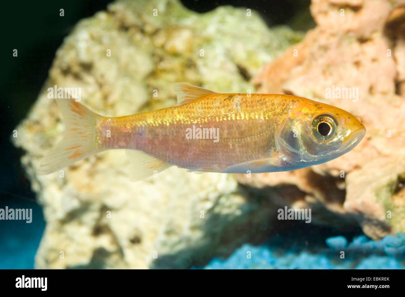 IDE, Orfe (Leuciscus IDU), Zucht Form gold Stockbild