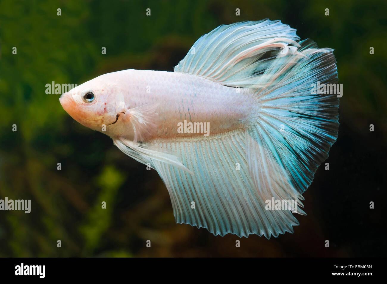 Siamese fighting fish siamese fighter stockfotos siamese for Siamesische kampffische