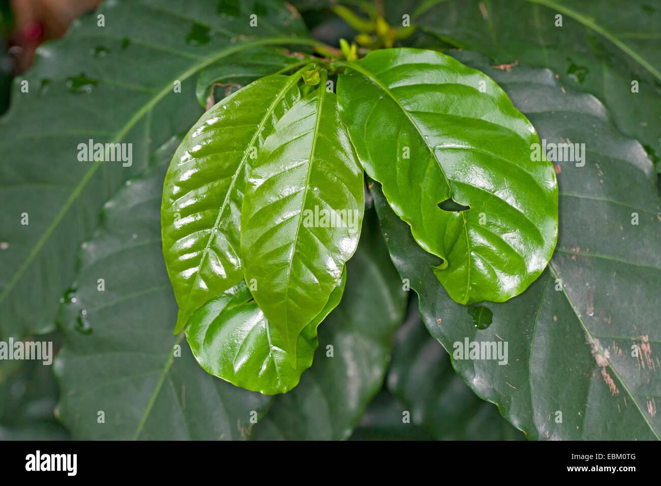 leaves coffea arabica stockfotos leaves coffea arabica bilder alamy. Black Bedroom Furniture Sets. Home Design Ideas