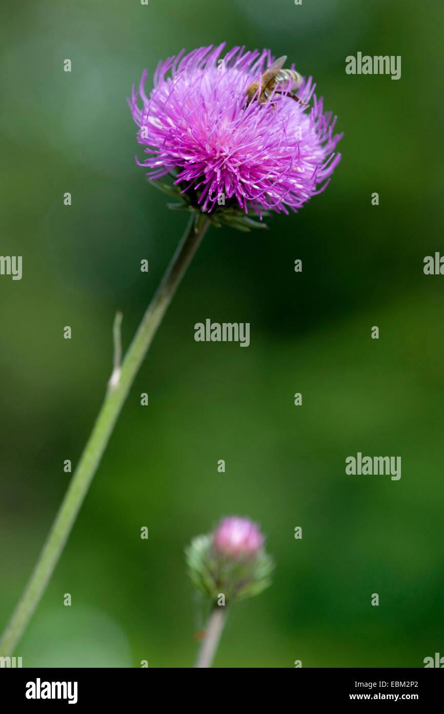 Alpine Distel (Blütenstandsboden Defloratus), Flowerhead mit Biene, Deutschland Stockbild
