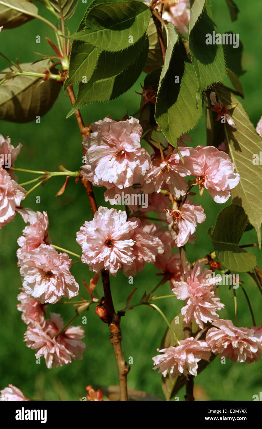orientalische Kirsche (Prunus 'Pink Perfektion', Prunus Pink Perfektion), blühender Zweig Sorte Pink Stockbild