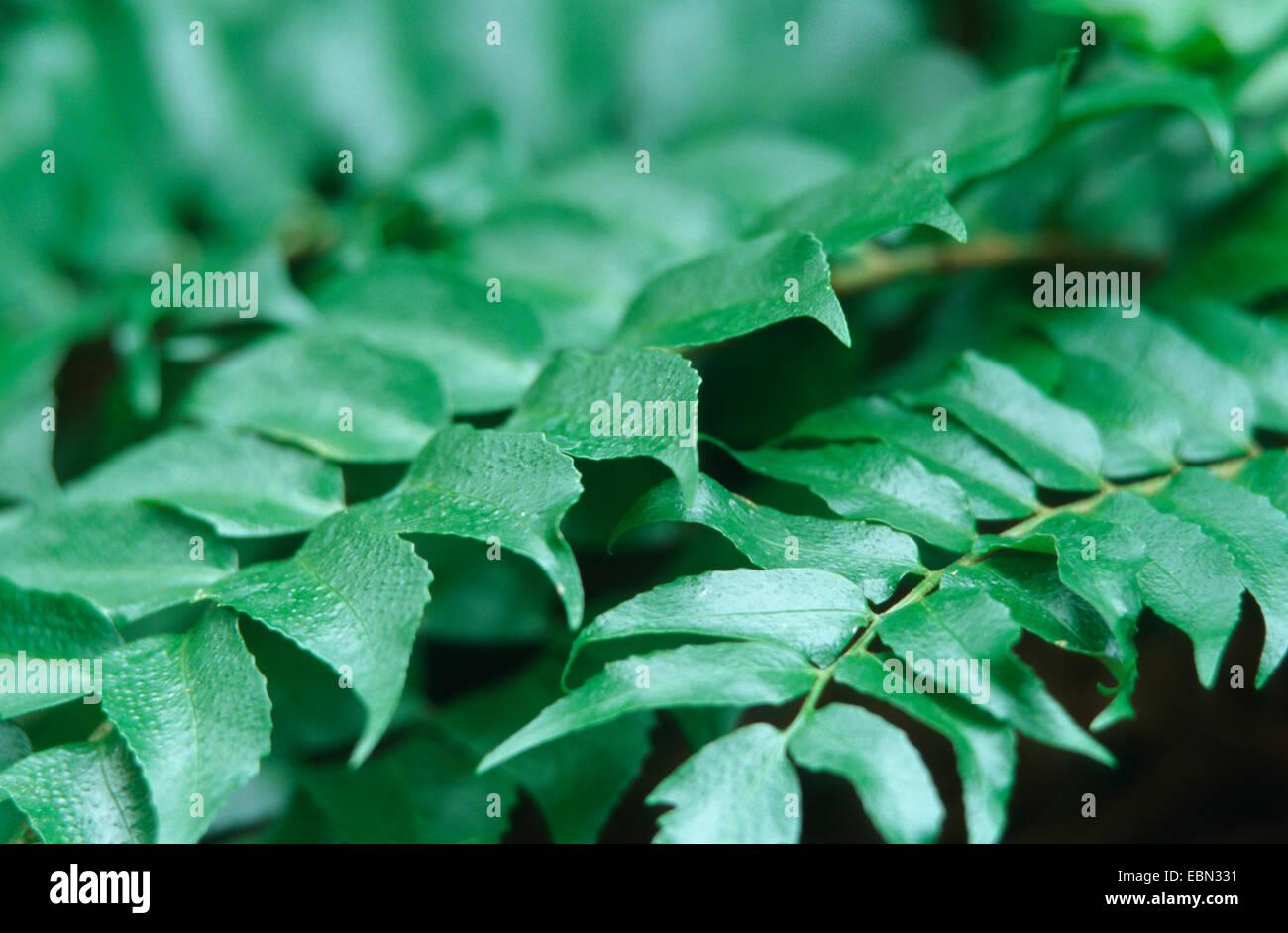 Japanische Stechpalme Farn (Cyrtomium Falcatum, Polysticum Falcatum), verlässt die Sorte Rochfordianum Stockbild