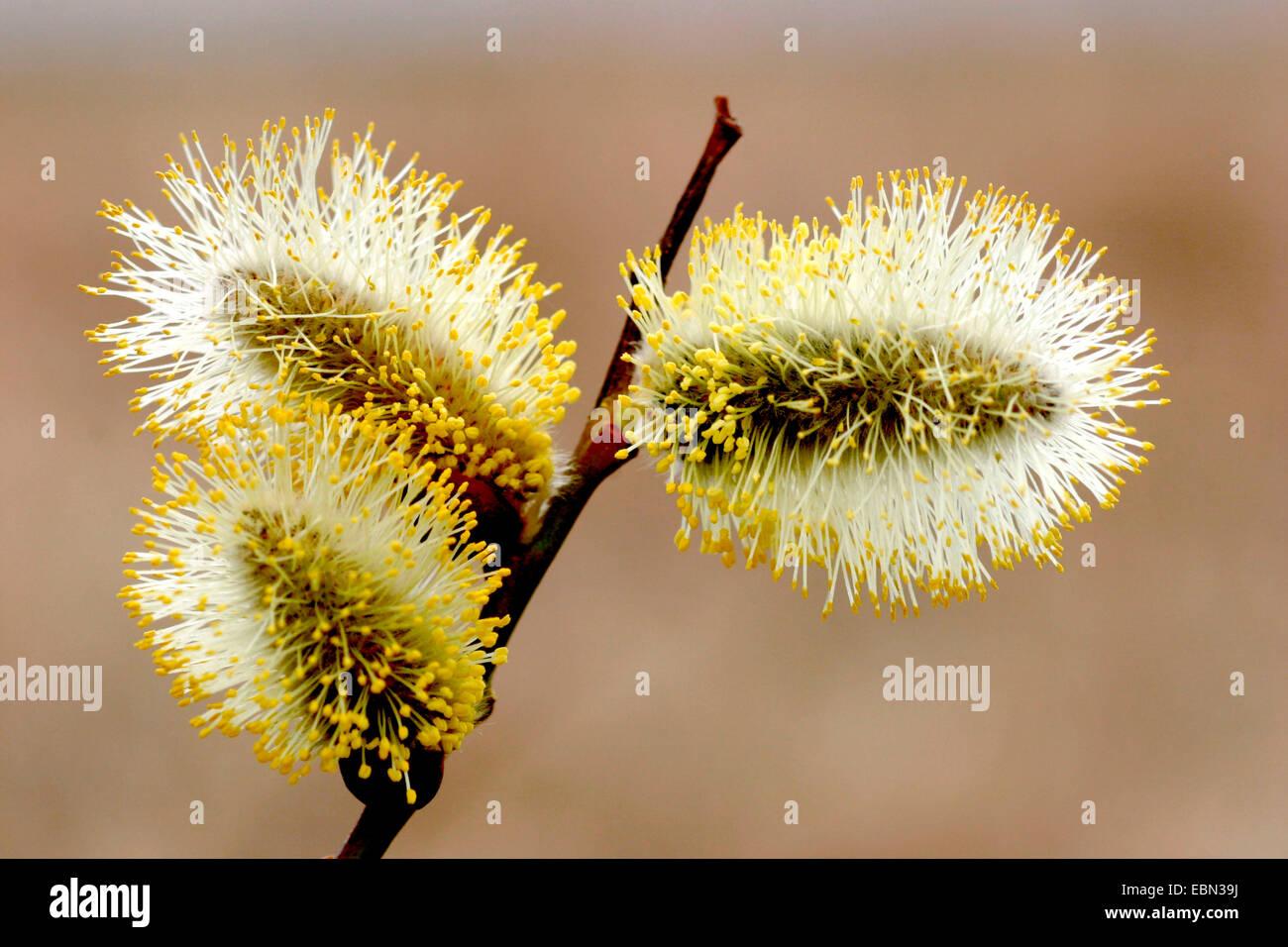 Große gelbe Muschi