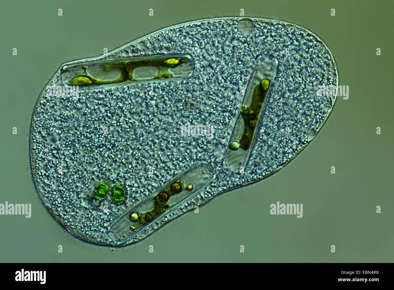 einzelligen Organismus mit gefüttert, differential Interferenz-Kontrast Stockbild