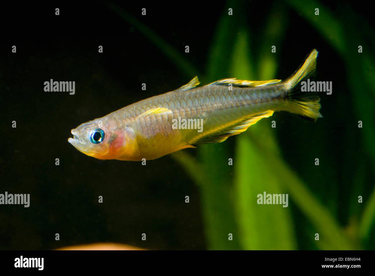 Gabel-Tail Regenbogenfisch (Pseudomugil Furcatus, Popondichthys Furcatus) züchten gelb Stockbild
