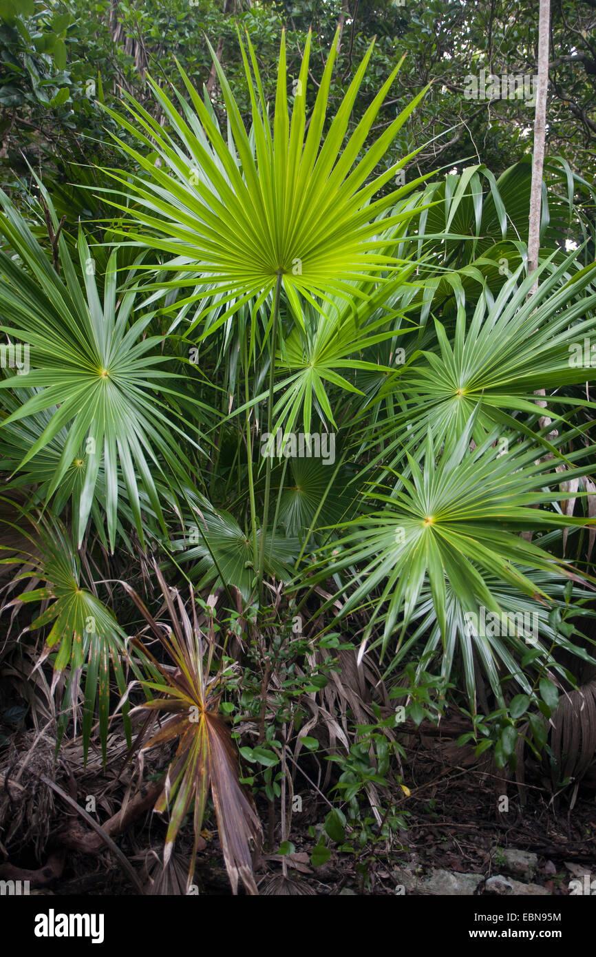 FLORIDA THATCH PALM (Thrinax Radiata) Curry Hängematte State Park, Florida, USA. Stockbild