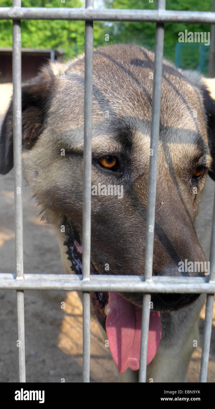 Haushund Canis Lupus F Familiaris Portrait Eines Kangal Hund In