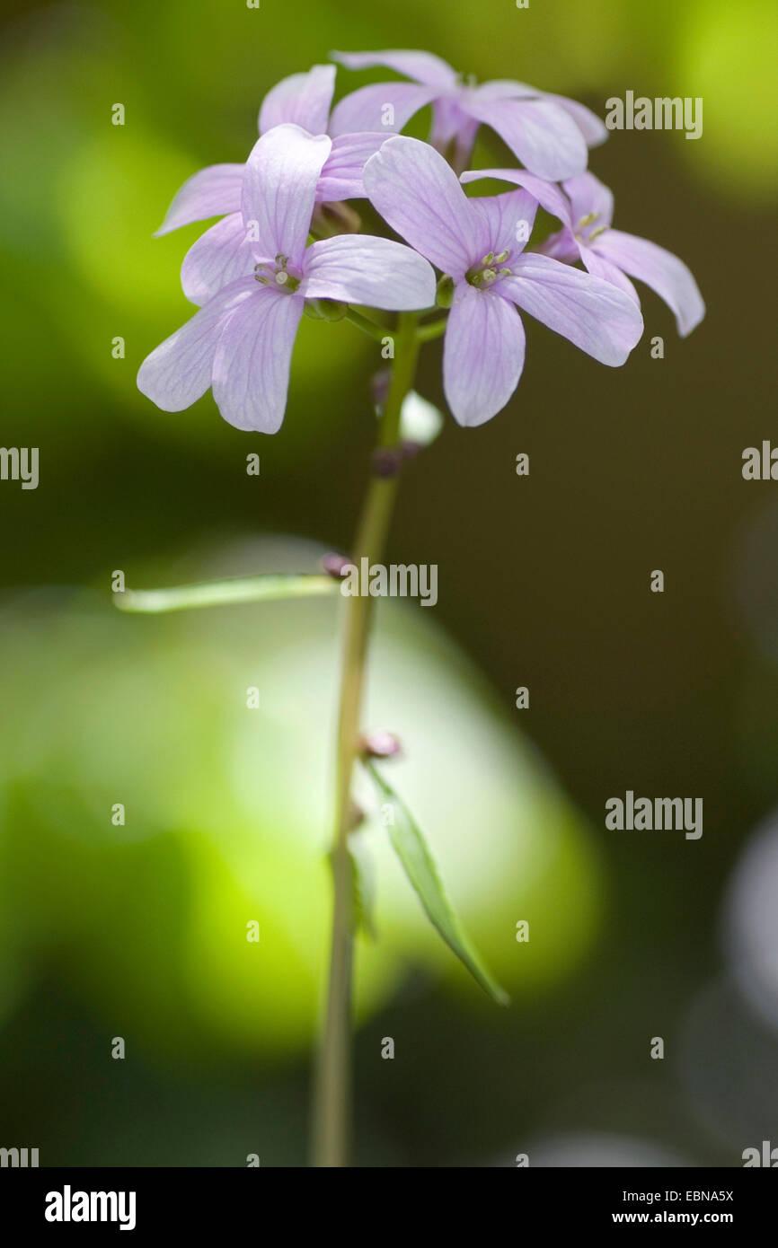 Coralroot, Zwiebel-Lager Toothwort (Cardamine Bulbifera, Dentaria Bulbifera), Blütenstand, Deutschland Stockbild
