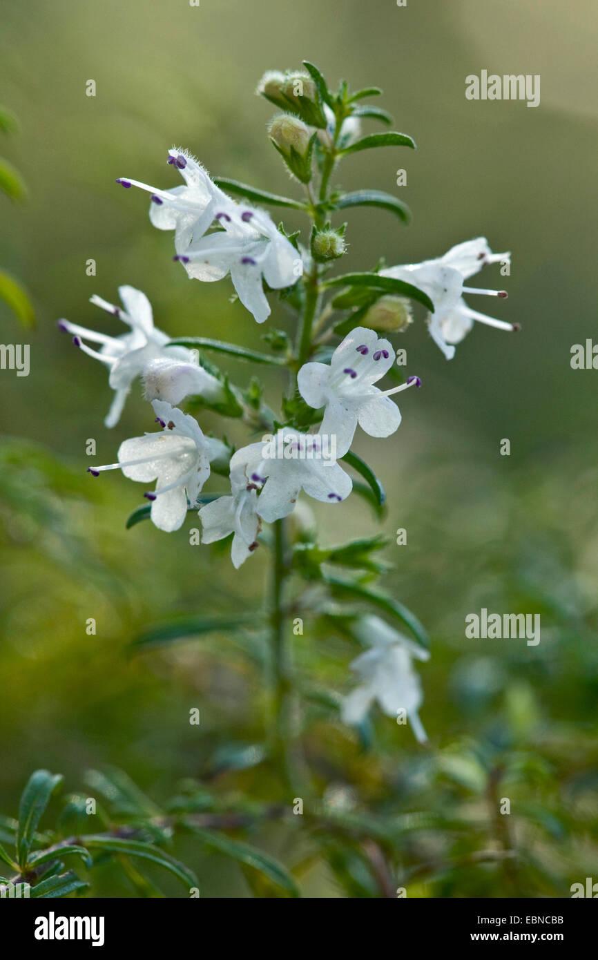 Berg-Bohnenkraut (Satureja Alternipilosa), Blütenstand Stockbild