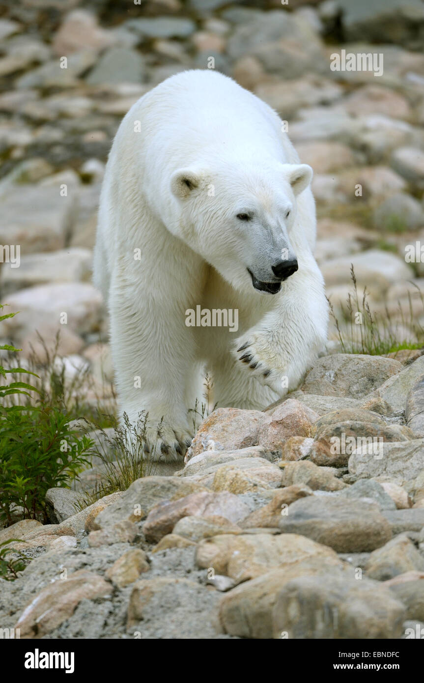 Eisbär (Ursus Maritimus), erwachsenes Weibchen Stockfoto