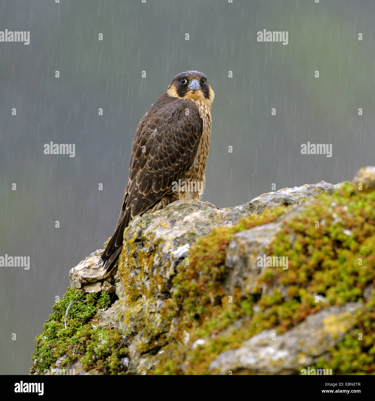 Wanderfalke (Falco Peregrinus), sitzt auf einem felsigen Knoll Jungvogel bei strömenden Regen, Deutschland, Stockbild