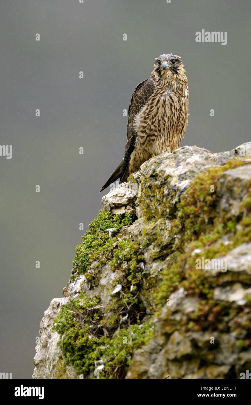 Wanderfalke (Falco Peregrinus), auf einem Felsen sitzen nass Jungvogel nach strömenden Regen, Deutschland, Stockbild