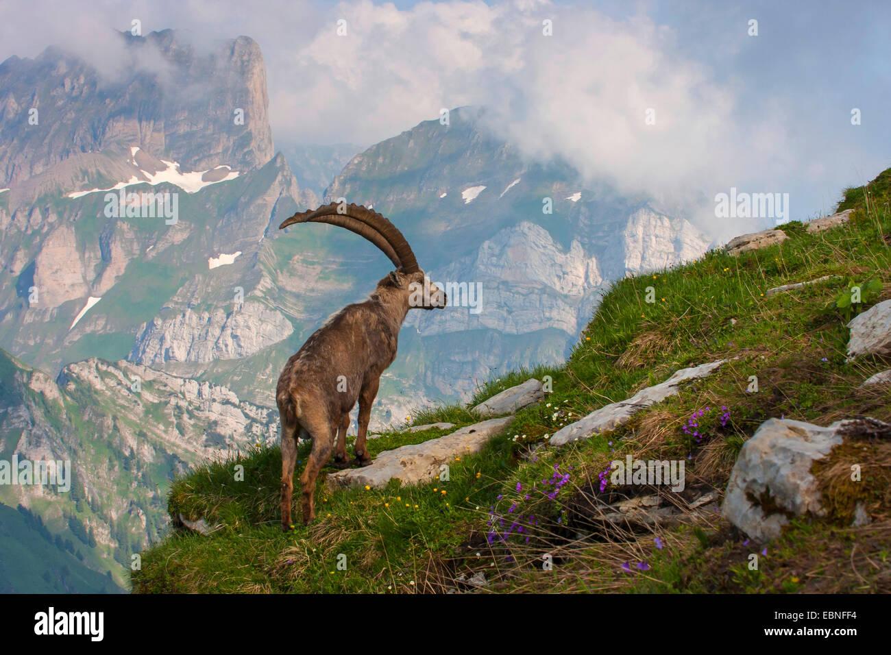 Alpensteinbock (Capra Ibex, Capra Ibex Ibex), Männchen auf der Suche, der Schweiz, Toggenburg, Chaeserrugg Stockbild