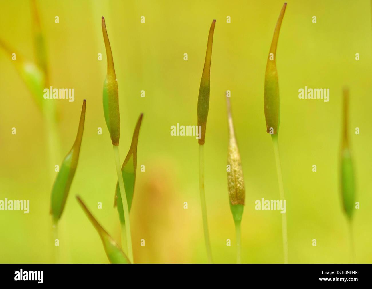Besen (Dicranium Scoparium) Moos, Moos Kapseln, Deutschland, Bayern, Oberbayern, Oberbayern Stockbild