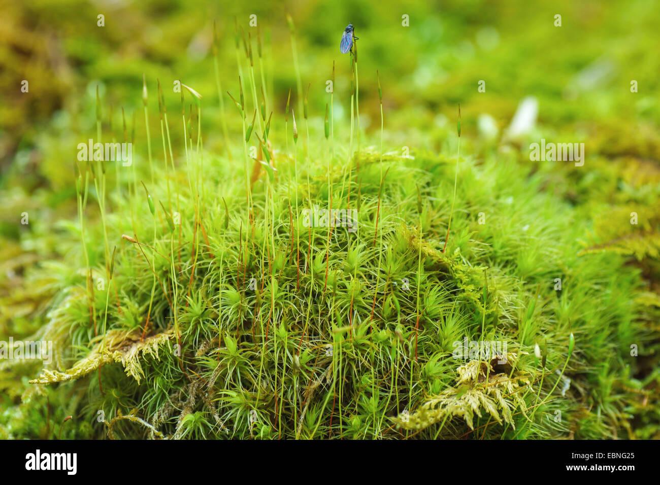 Besen Moos (Dicranium Scoparium), Moospad mit Kapseln und Fliege, Oberbayern, Oberbayern, Bayern, Deutschland Stockbild