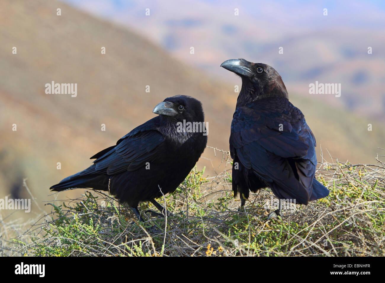 Kanarischen Inseln Raven, Kanarische Raven (Corvus Corax Tingitanus, Corvus Tingitanus) koppeln sitzt auf einem Stockbild