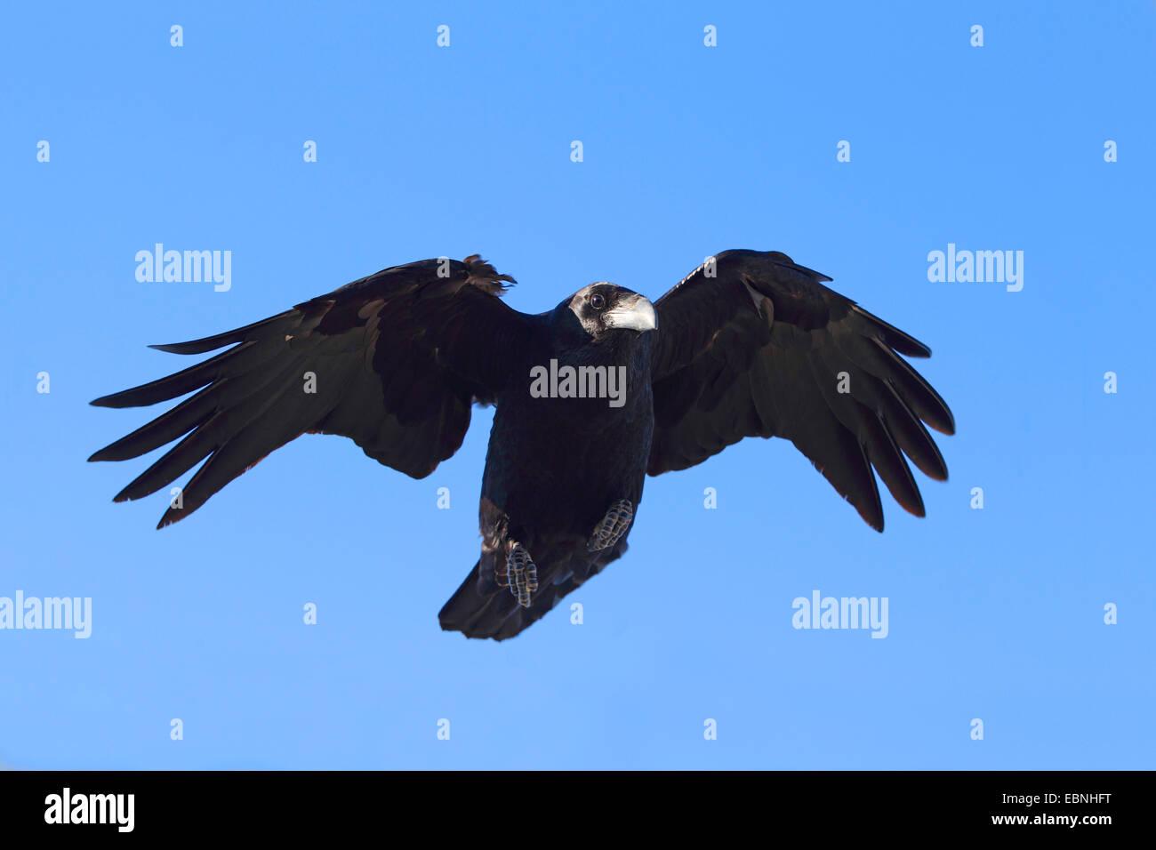 Kanarischen Inseln Raven, Kanarischen Raven (Corvus Corax Tingitanus, Corvus Tingitanus), Landung, Kanarische Inseln, Stockbild