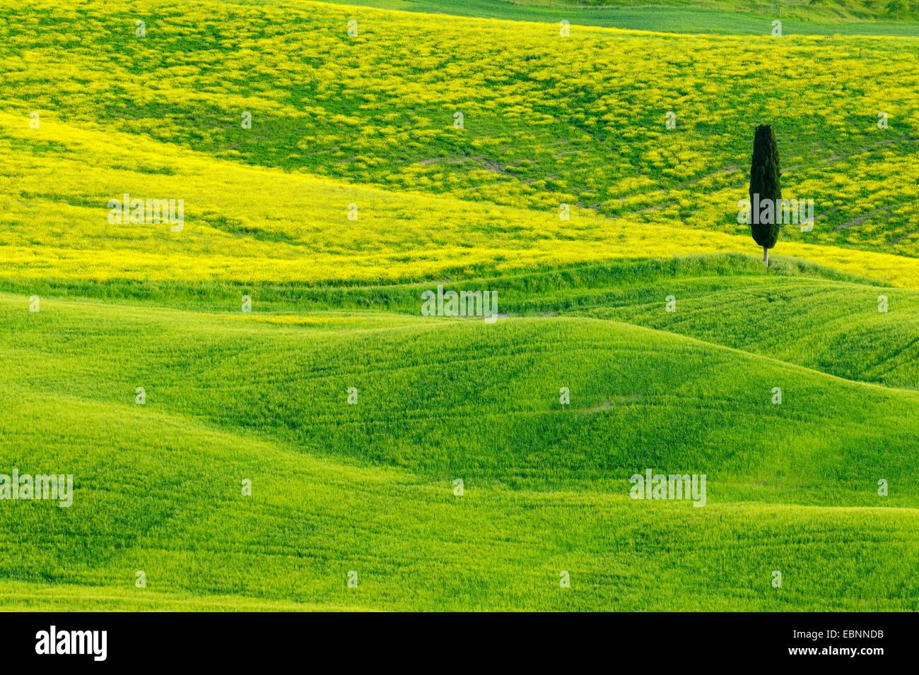 Italienische Zypresse (Cupressus Sempervirens), grüne und hügelige Ackerland mit Cypress, Val d' Orcia, Stockbild