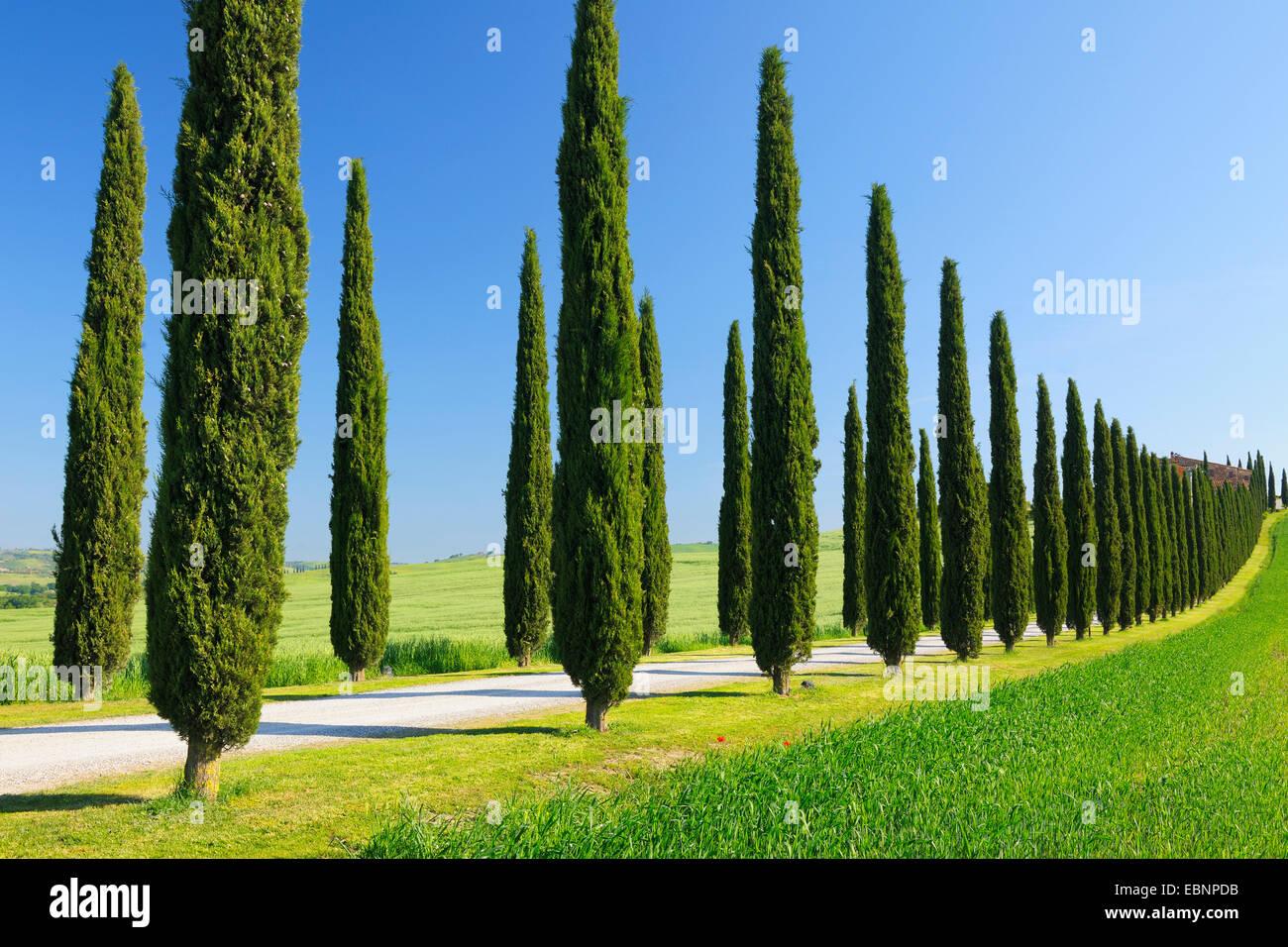 italienische zypresse cupressus sempervirens zypressen allee im fr hling san quirico d. Black Bedroom Furniture Sets. Home Design Ideas