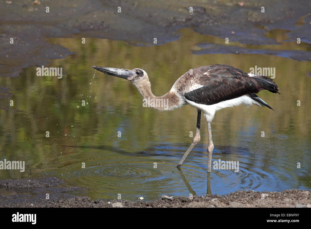 Sattel-Bill Stork (Nahrung Senegalensis), unreifen Vogel trinkt ein Wasserloch, Südafrika, Kruger National Park Stockfoto
