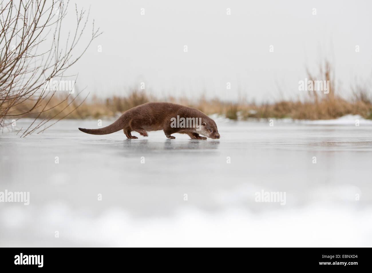 Europäischen Fischotter, europäischer Fischotter, eurasische Fischotter (Lutra Lutra), weibliche zu Fuß Stockbild