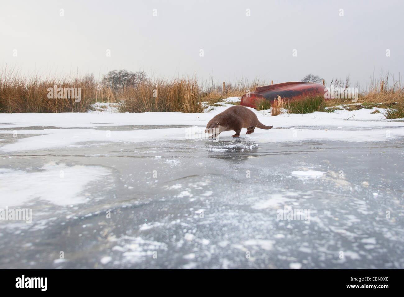 Europäischen Fischotter, europäischer Fischotter, eurasische Fischotter (Lutra Lutra), weibliche im Schnee Stockbild