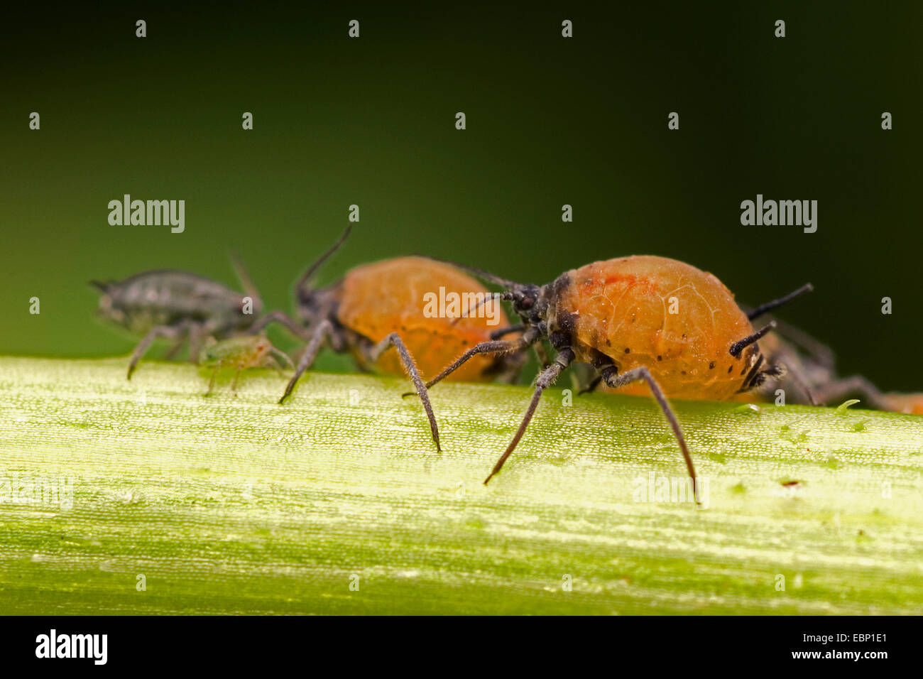 Blattlaus (Aphis spec.), einige Tiere einer Kolonie auf einem Stiel, Deutschland Stockbild