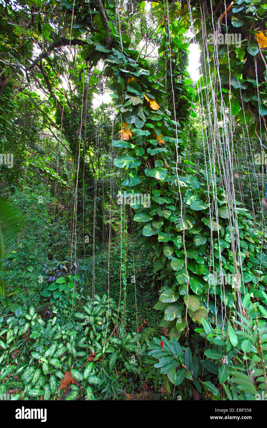 Dickicht mit Schlingpflanzen und Luftwurzeln, Seychellen, La Digue Stockbild