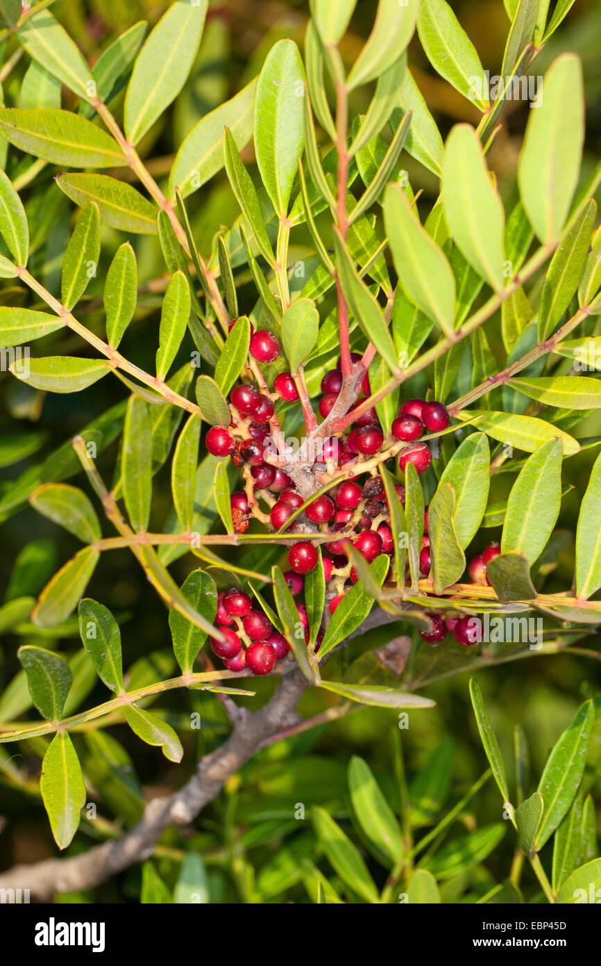 Mastix (Pistacia Mastixsträuchern) Fruchtkörper branch Stockbild